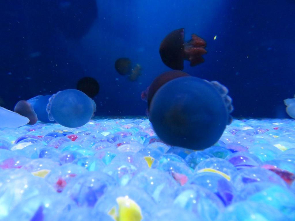 カワイイ水槽の中には、コロンとしたクラゲが☆