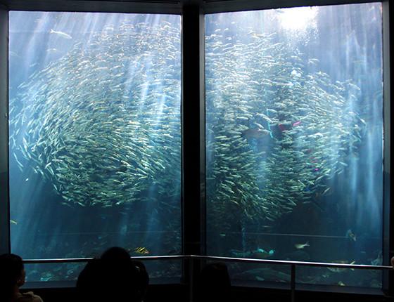 イワシ1万匹の群泳