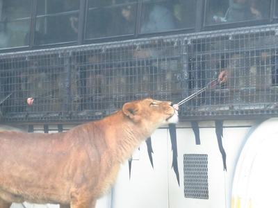 ライオンバスに乗って百獣の王ライオンにエサやり体験!