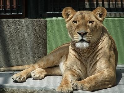 立派なライオンもいます。