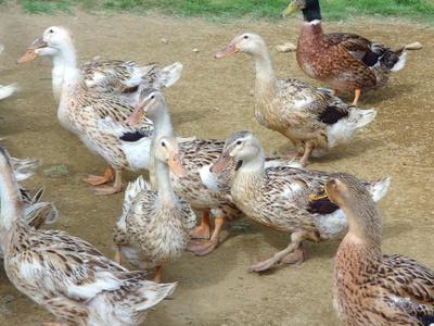 かわいい合鴨たちにも触れ合えますよ♪