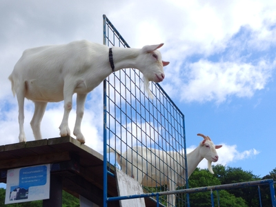 こんな高い場所に…ヤギの気まぐれです♪
