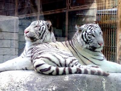 東武動物公園と言ったらこれ!!ホワイトタイガー