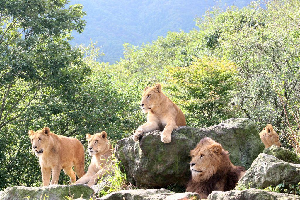 提供:岩山のライオン