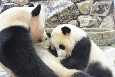 6頭のジャイアントパンダ!世界的に評価される繁殖・育成研究