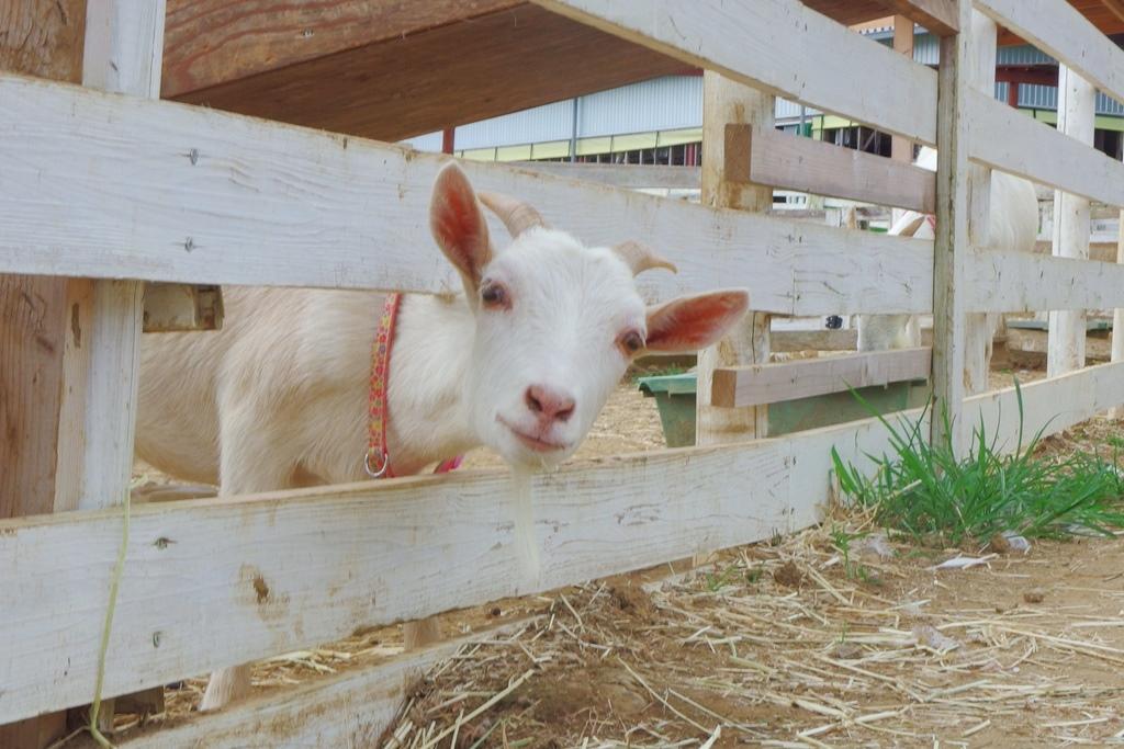 アルパカ、ヤギ、ヒツジ、ウサギ、モルモット…たくさんの動物とふれあえる!