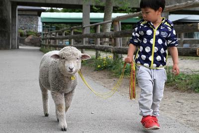 かわいすぎる!子羊とのお散歩 おさんぽメ~め~