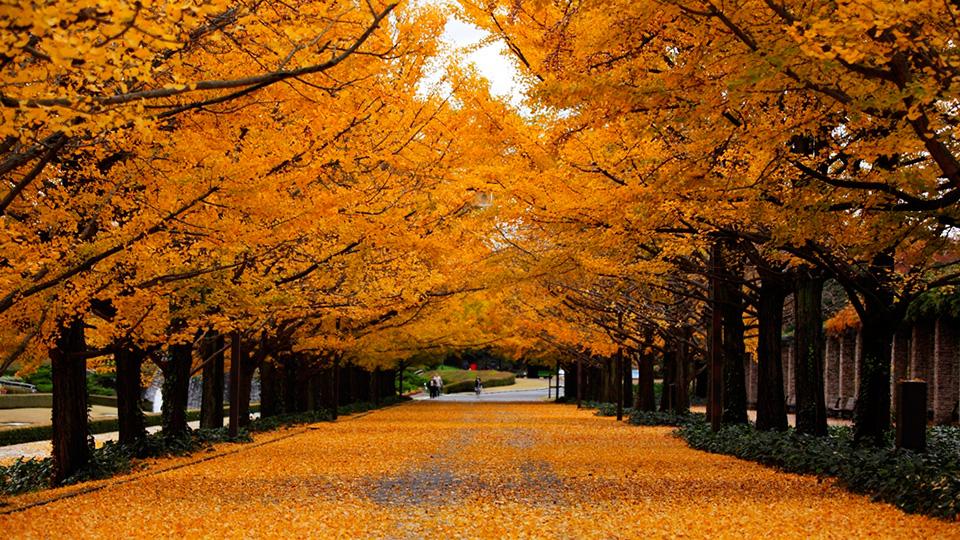 国営昭和記念公園のイチョウ(秋)