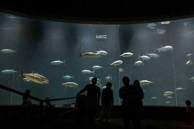 圧巻!他の水族館では見られないマグロの大群