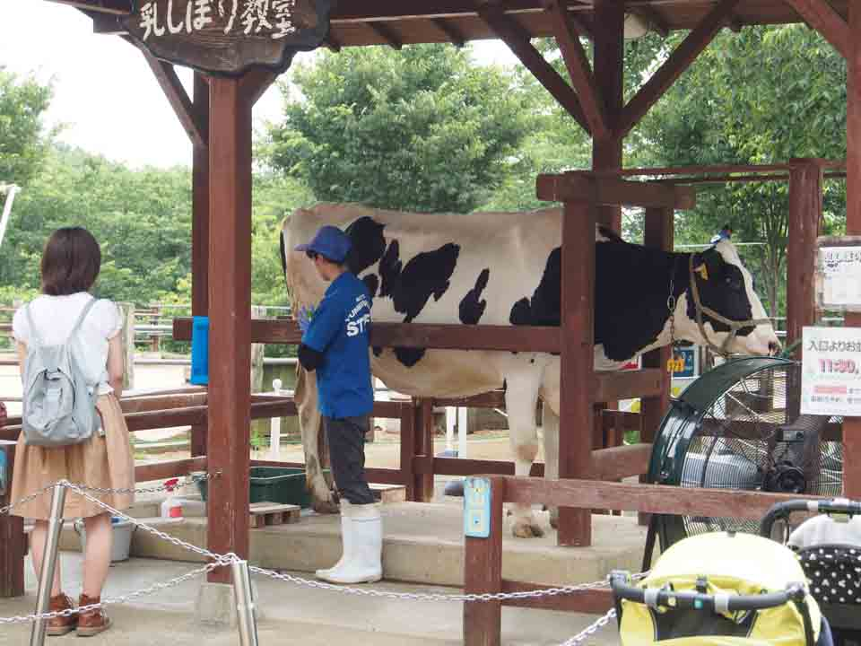 乳牛の暮らす牧場見学、乳しぼりのあとは牧場グルメ!