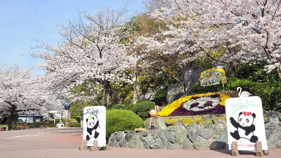神戸市立王子動物園 桜