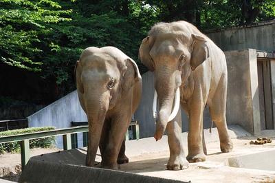 神戸市立王子動物園 インドゾウ