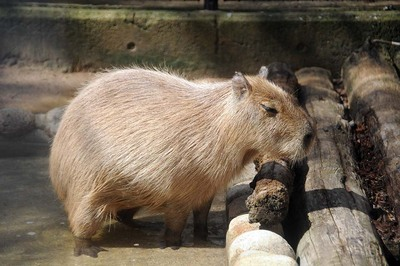 王子動物園 カピバラ