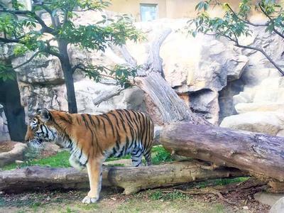 王子動物園 アムールトラ