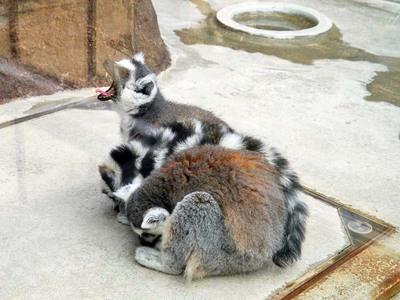 王子動物園 ワオキツネザル