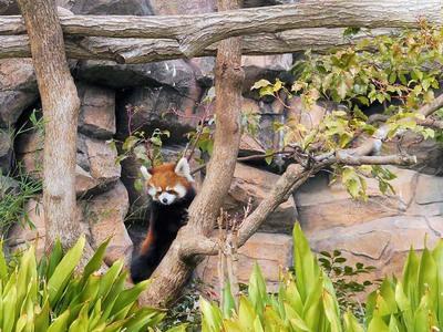 神戸市立王子動物園 レッサーパンダ