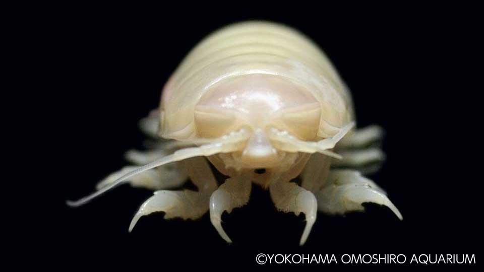 ヨコハマおもしろ水族館 白いオオグソクムシ