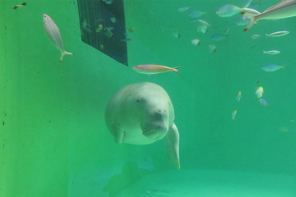 ジュゴンを日本で唯一飼育展示