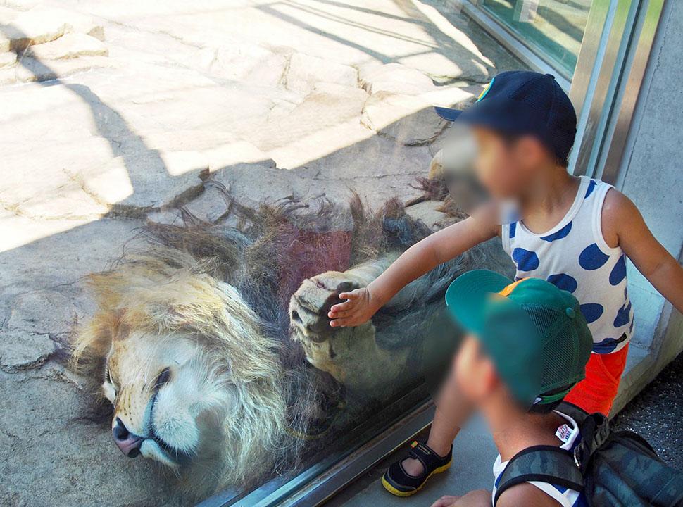 寝てるけど、ガラス越しのライオンはやっぱり怖い