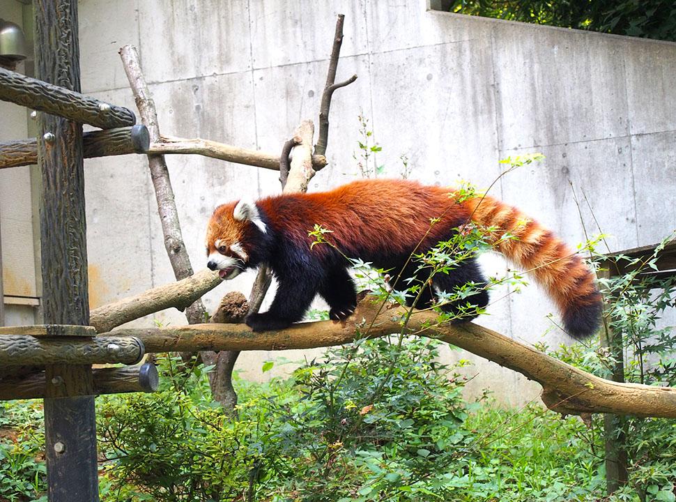 愛らしいレッサーパンダ